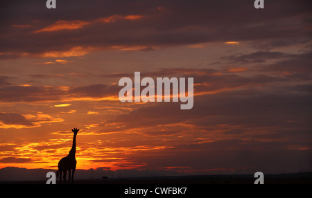 Masai Giraffe (Giraffa camelopardalis tippelskirchi) silhouette in Masai Mara National Park, Kenya - Stock Photo