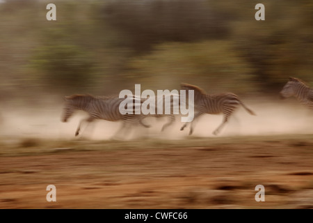 Wildebeest (plural wildebeest or wildebeests, gnu) migration in Masai Mara National Park, Nairobi, Kenya - Stock Photo