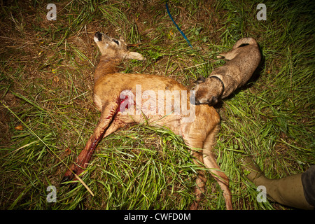 Buck roe deer (Capreolus capreolus) lying dead in grass with bullet exit hole and tracking dog-a border terrier. - Stock Photo