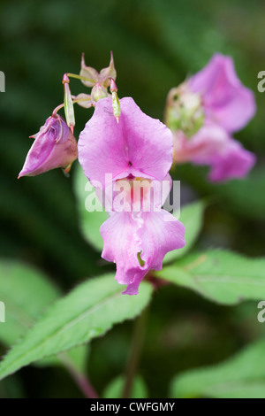 Impatiens glandulifera. Himalayan Balsam growing by a river in the Lake District. - Stock Photo