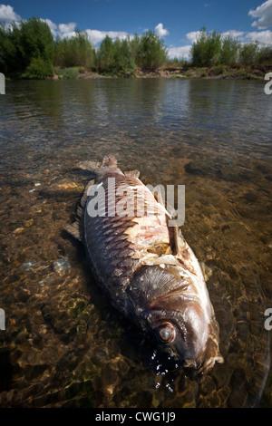 A dead carp (Cyprinus carpio carpio) in a state of decay in the Allier river (France). Carpe en décomposition dans - Stock Photo