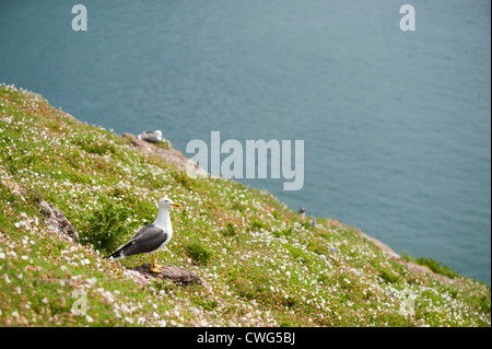 Lesser Black-backed Gull, Larus fuscus, in the Sea Campion - Stock Photo