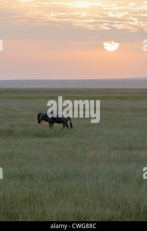Wildebeest on the Plains of Amboseli at Dawn - Stock Photo