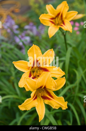 Yellow and red Day Lily Hemerocallis Bonanza growing in garden flower border, Cumbria, England UK - Stock Photo