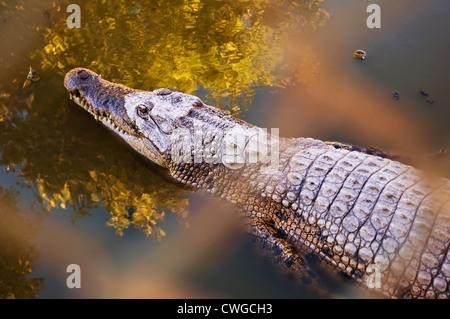 Salt water crocodile in a breeding farm - Stock Photo