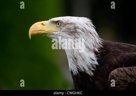 Bald Eagle (Haliaeetus leucocephalus ) close up headshot in profile taken under controlled conditions - Stock Photo