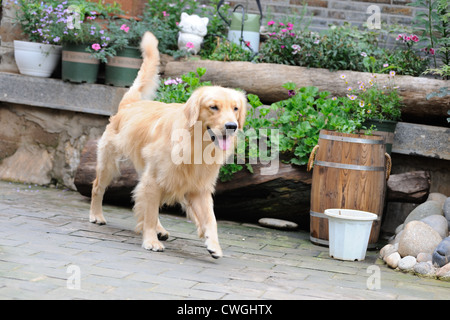 Golden retriever dog walking in Chinese traditional style yard - Stock Photo