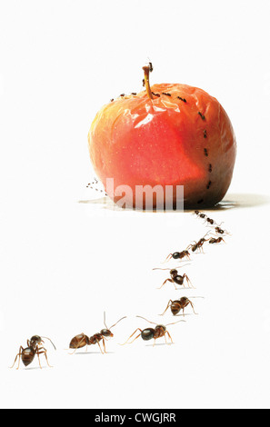 Ants marching over rotting apple. - Stock Photo