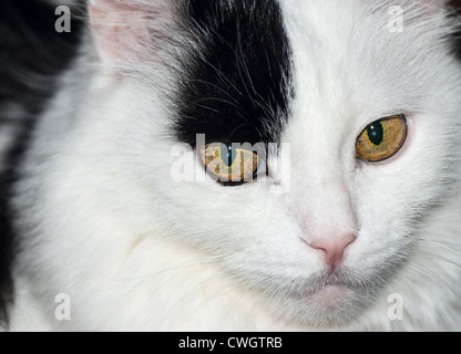 Close-up portret black and white domesticated cat - Stock Photo