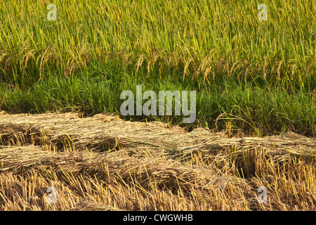 The fertile valley surrounding KENGTUNG or KYAINGTONG is used to grow RICE - MYANMAR - Stock Photo