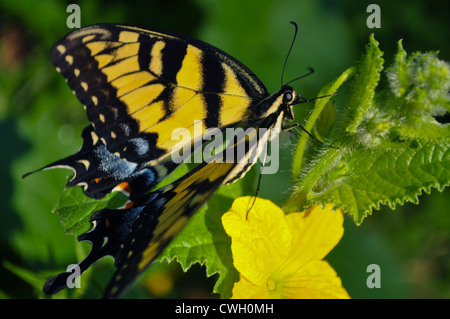 Eastern Tiger Swallowtail butterfly (Papilio glaucus) on a water melon bloom - Stock Photo