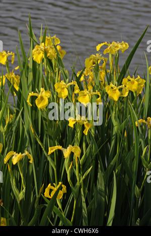 Iris pseudacorus (Iridaceae) in wild,yellow flag, yellow iris, water flag, Bulgaria - Stock Photo