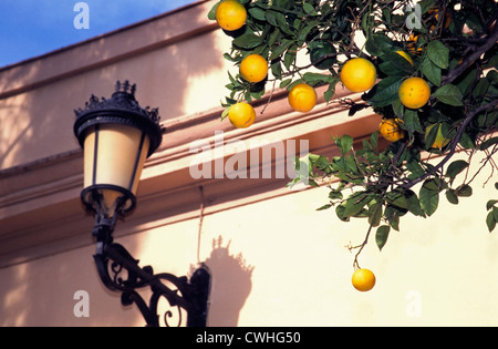 Ripe oranges hanging from orange trees on the streets of Seville Spain Andalusia - Stock Photo
