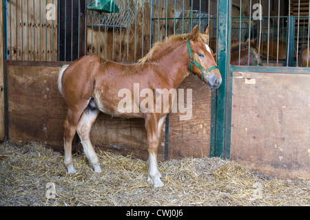 Suffolk Punch also historically known as the Suffolk Horse foal in a stable Equus ferus caballus comes under ti - Stock Photo