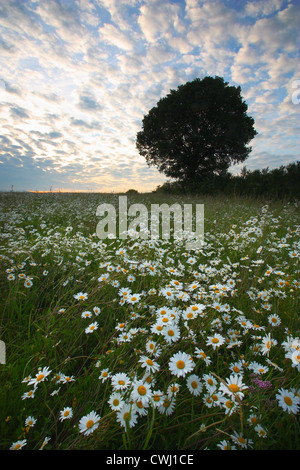 Daisies in Heartwood Forest - Stock Photo