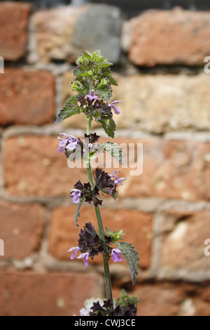 Wild Basil against brick background Clinopodium vulgare Retford, Nottinghamshire, England, UK - Stock Photo