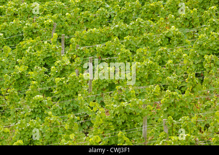 Green grape-vines in summer in the Rheingau area, Hesse, Germany - Stock Photo