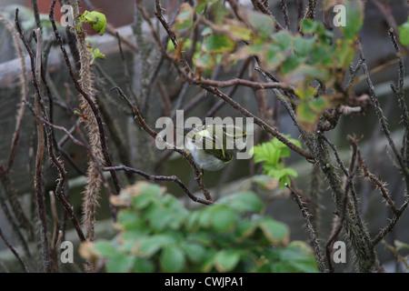 Pallas's Warbler Phylloscopus proregulus Shetland, Scotland, UK - Stock Photo