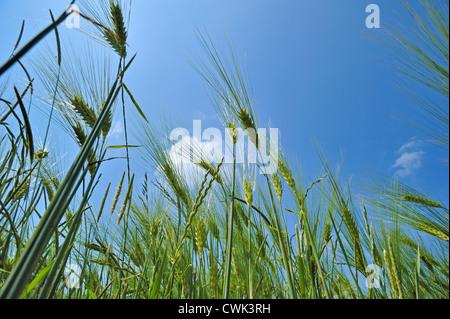 Worm's-eye view on barley ears (Hordeum vulgare) in field in spring, France - Stock Photo