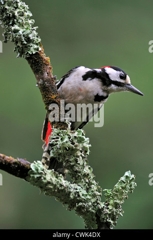 Great Spotted Woodpecker / Greater Spotted Woodpecker (Dendrocopos major) male perched on branch covered in lichen, - Stock Photo