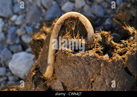 Horse roundworm / Equine roundworms (Parascaris equorum), parasite worms in horse dung / manure - Stock Photo