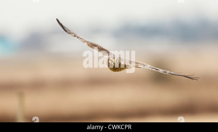 Canada, British Columbia, Boundary Bay, young male Northern Harrier (Circus cyaneus) in flight - Stock Photo
