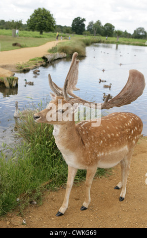 bushy park divorced singles dating site The deadliest animal in africa has been spotted swimming through bushy park's boating pond  dating exchange and mart  hippo spotted floating in bushy park pond.