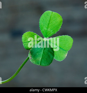 lucky clover with four leaves - Stock Photo
