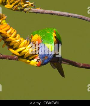 Rainbow Lorikeet (Trichoglossus haematodus) feeding, New South Wales, Australia - Stock Photo