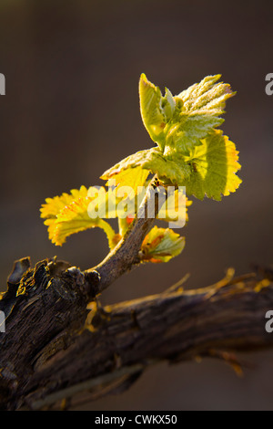 Close-up of wine grape shoot on the vine - Stock Photo