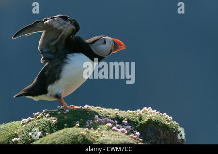 Atlantic puffin (Fratercula arctica) summer adult stretching wings. Fair Isle, Shetland. June. - Stock Photo