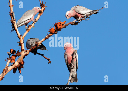 Galah Cockatoos (Cacatua roseicapilla), Kakadu National Park, Northern territory, Australia - Stock Photo