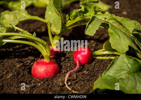 Fresh Radishes growing in the Garden - Stock Photo
