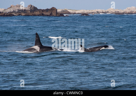 Adult male & female type Transient Killer Whales or Orcas (Orcinus orca), surfacing, Monterey, California, Pacific - Stock Photo