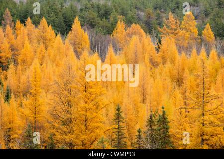 Eastern larches in autumn foliage, Greater Sudbury (Wahnapitae), Ontario, Canada - Stock Photo