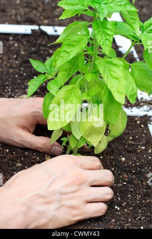Basil Plant in a Garden Being Cared for - Stock Photo