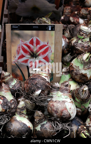 rows line row lines box boxes amaryllis bulb bulbs on sale amsterdam flower flowering christmas market - Stock Photo