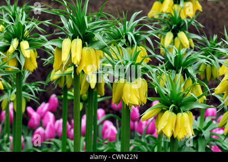 fritillaria imperialis lutea yellow colours colors flowers flowering blooms crown imperial bulbs april spring - Stock Photo