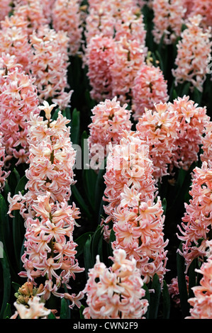 hyacinth hyacinthus orientalis gypsy queen pale orange pastel flower flowers blooms blossoms bed beds border spring - Stock Photo