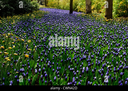 Muscari latifolium blue flowers tulipa sylvestris river effect bed spring bulb flowering bloom blossom bed display drift scheme