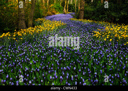 Muscari latifolium Tulipa sylvestris flowers river colour color keukenhof gardens lisse spring bloom blooming design landscape