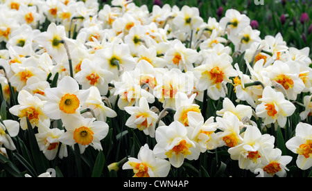 narcissus flower drift yellow orange white double daffodil flowers narcissi daffodils bulbs spring flowering bloom - Stock Photo