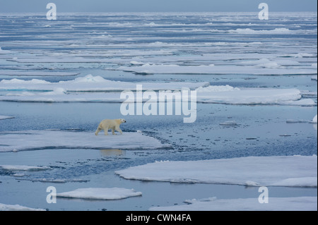 Polar bear, Ursus maritimus, on sea ice north of Spitsbergen, Svalbard, Arctic - Stock Photo