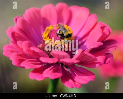 Summer Sunlight Scene - Bee Collecting Nectar or Honey on Dahlia Flower - Stock Photo