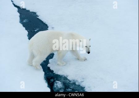 Polar bear, Ursus maritimus, on sea ice north of Spitsbergen, Svalbard, Arctic - Stock Photo