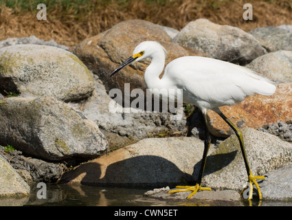Image of white snowy egret fishing on edge of pond. Image captured in Huntington Beach, California - Stock Photo