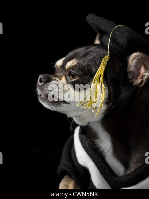 Great Graduation Cap Black Adorable Dog - cute-chihuahua-in-cap-and-gown-for-graduation-on-black-background-cwn5nk  Trends_792346  .jpg