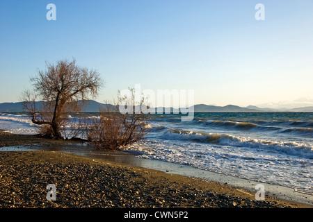 Tamarisk on a beach (Pelion Peninsula, Thessaly, Greece) - Stock Photo