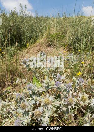 Sand dune plants vegetation Braunton Burrows. - Stock Photo