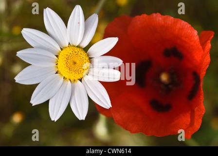 Closeup of feverfew and ladybird poppy bloom (Papaver commutatum) - Stock Photo